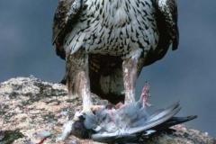 Águila-Azor-Perdicera_2