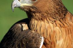 Águila-Azor-Perdicera_3