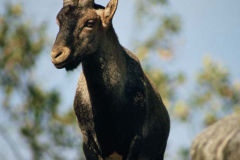 Cabra-Montés