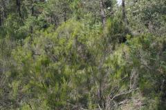 Brezales-de-Erica-scoparia