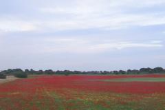 Comunidades-de-campos-de-cereales-con-Papaver-rhoeas
