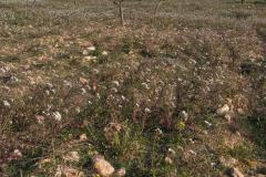 Comunidades-primaverales-de-cultivos-con-Diplotaxis-erucoides