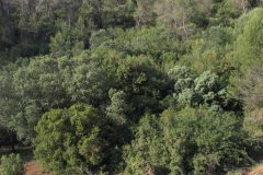 Coscojares-con-Acer-monspeliensis-Valhermoso