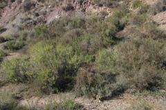 Matorrales-de-Ononis-fruticosa