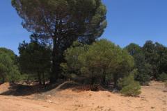 Pinares-de-Pinus-pinaster-sobre-arenas